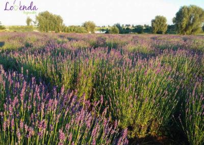 lawendowe-pole-warsztaty-pszczolki-4