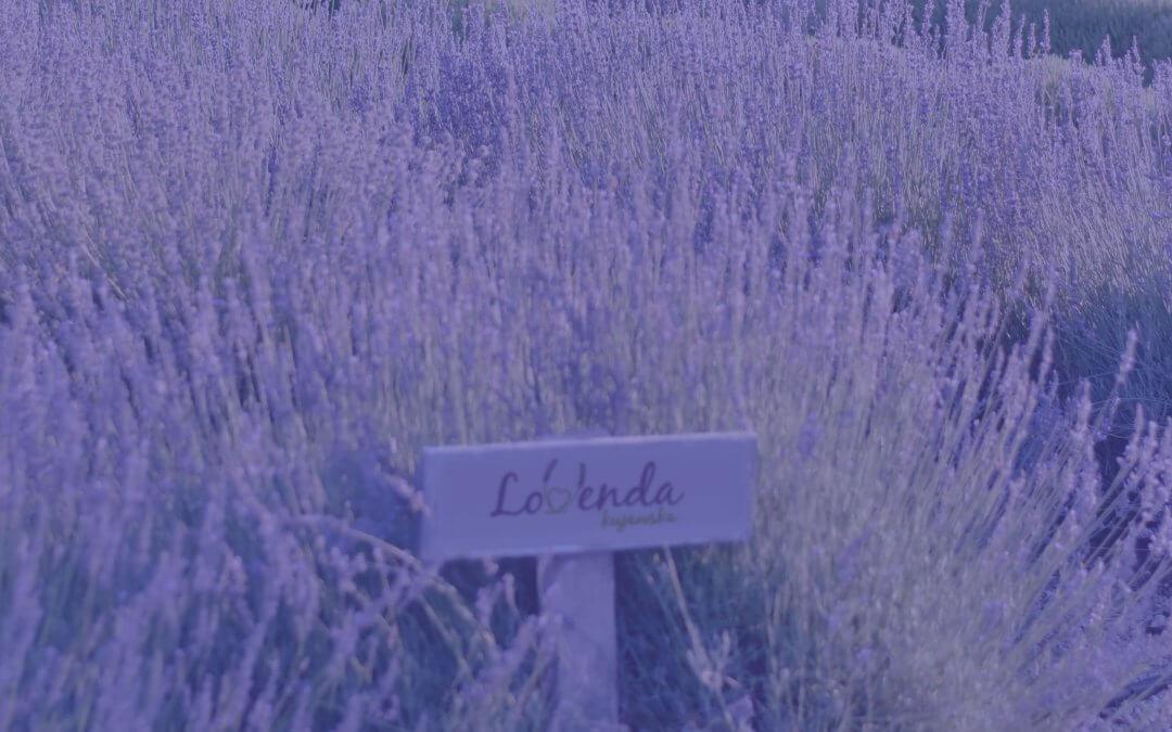 Pole lawendy z tabliczką Lovenda Kujawska